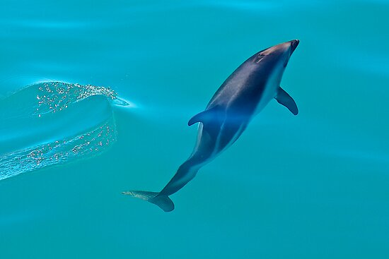 Dusky Dolphin by Images Abound | Neil Protheroe