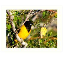 Audubon's Oriole Art Print
