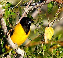 Audubon's Oriole by freevette