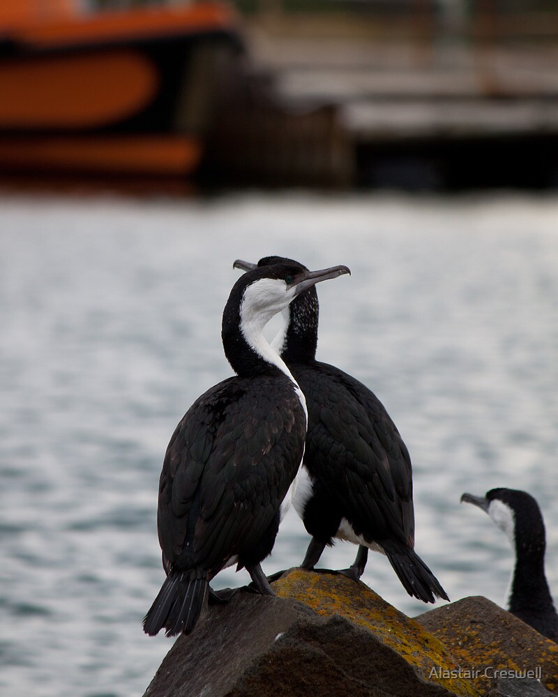 Cormorants waiting for the boat by Alastair Creswell