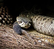 Rattle snake by jegi52001
