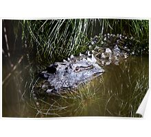 Alligator in the water Poster
