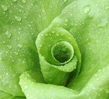 Rainy day Lettuce by rom01