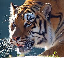 TIGER STALKING by Photography by TJ Baccari