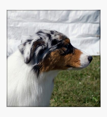 Australian Shepherd Profile Photographic Print