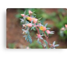 Echeveria imbricata flowers Canvas Print