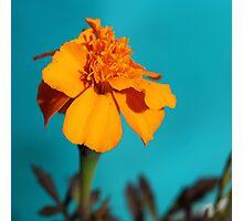 Marigold in bloom, Pago del Humo, Spain 2012 Photographic Print