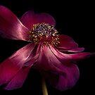 Deep Pink Anemone - 1 by Ann Garrett
