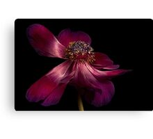 Deep Pink Anemone - 1 Canvas Print
