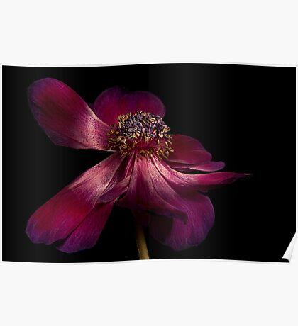 Deep Pink Anemone - 1 Poster