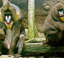 Mandrillus spinx--Mandrill Pair OR..a blinding silence by Sassafras