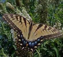 Tiger Swallowtail by SenskeArt