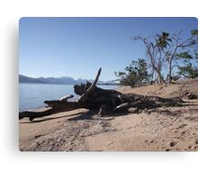 dead tree on beach Cardwell after Cyclone Yasi February 2012 Canvas Print