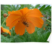 Cosmos Flower with Bee Poster