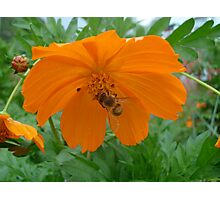 Cosmos Flower with Bee Photographic Print