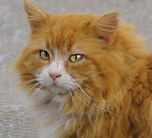 An Orange Tabby:  Old and wise by PatChristensen