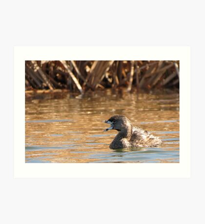 Pied-billed Grebe~ Open bill, Close Shutter Art Print