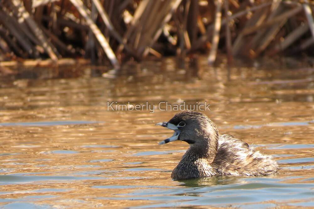 Pied-billed Grebe~ Open bill, Close Shutter by Kimberly Chadwick