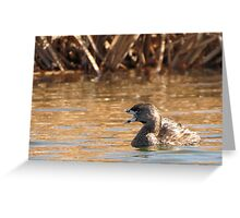 Pied-billed Grebe~ Open bill, Close Shutter Greeting Card