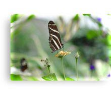 Zebra Longwing - Heliconius Charitonius Canvas Print