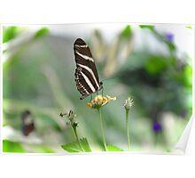 Zebra Longwing - Heliconius Charitonius Poster