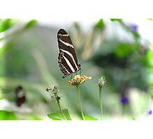 Zebra Longwing - Heliconius Charitonius Photographic Print