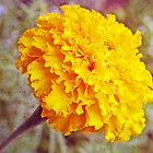 """Golden Marigold"" by kkphoto1"