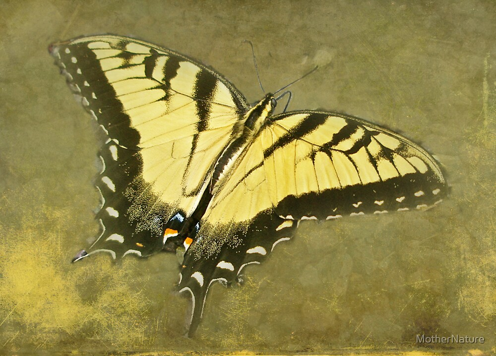 Tiger Swallowtail Butterfly - Papilio glaucas by MotherNature