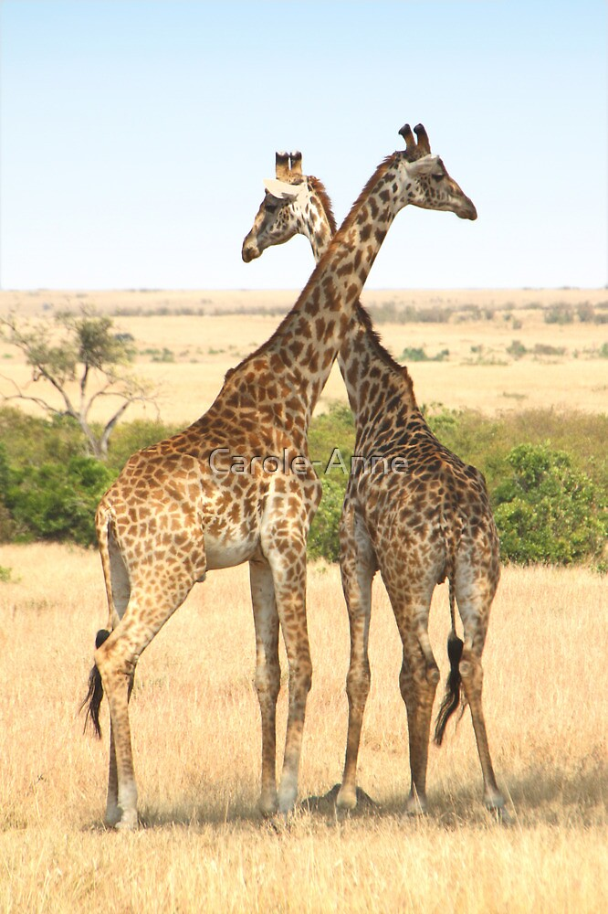 Maasai Giraffes. Males Necking #4, Maasai Mara, Kenya by Carole-Anne
