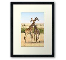 Maasai Giraffes. Males Necking #4, Maasai Mara, Kenya Framed Print