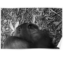Sleeping gorilla Poster