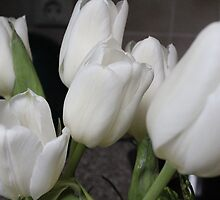 White Tulips by karina5