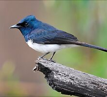 Satin Flycatcher taken Mt Beauty by Alwyn Simple