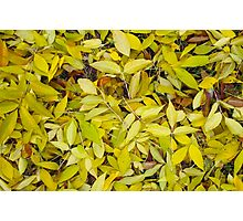 Top view of a background of yellow autumn leaves ash Photographic Print