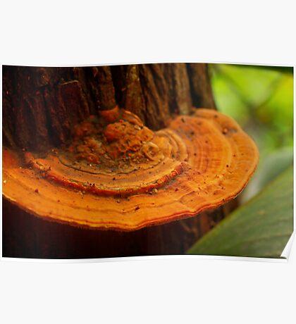 orange-brown bracket fungus Poster