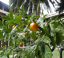 Monastir de Pedralbes:Oranges in the Cloister, Barcelona by Sue Ballyn