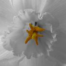 Daffodil Close-up by Lynn Bolt