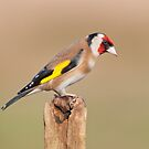 Goldfinch by Margaret S Sweeny