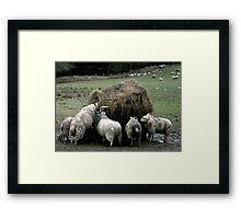 Sheep Feeding Framed Print