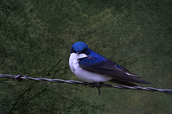 Tree Swallow by Alyce Taylor