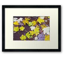 Top view of a wet autumn maple leaves closeup Framed Print