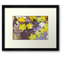 Overhead view of a wet autumn maple leaves closeup Framed Print