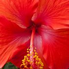 Red Hibiscus by Brian Achille