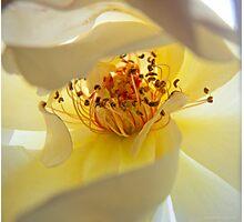 Intimate White Rose II Photographic Print
