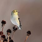 Winter Goldfinch by Bill McMullen