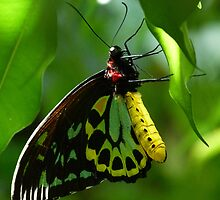 Cairns Birdwing Butterfly 3 by Margaret Saheed