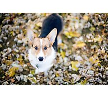 Zoey, The Pembroke Welsh Corgi Photographic Print