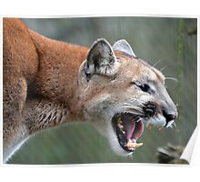 Cougar Scream Poster