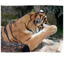 Tiger getting ready for Hide and Seek? Poster