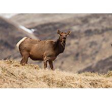 Elk Cow Photographic Print